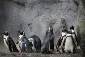 组的岩石背景上的企鹅 — 图库照片