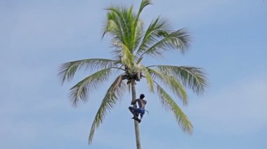 BENTOTA, SRI LANKA - APR 23: Strong deft man picking coconut tree on Apr 23, 2013 in Bentota, Sri Lanka. — Stock Video