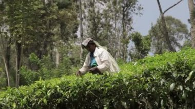 NUWARA ELLIA, SRI LANKA - APR 17: Woman picks in tea leaves on tea plantation on Apr 17, 2013 in Nuwara Ellia, Sri Lanka. Ceylon is one of the largest producers of tea. — Stok video