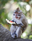 Crab-eating macaque eat juicy fruit — Stock Photo