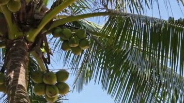 Harvest mature coconuts at the top of palm tree — Stock video