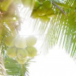 Coconuts on the top of the palm tree with the rays of the tropical sun — Stock Video