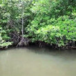 Mangroves along the shore of a tropical river — Stockvideo