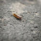 Sea slater (sea louse) on stone — Stock Photo
