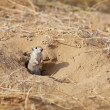 Rodent Indian desert jird (Meriones hurrianae) — 图库照片