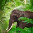 Old asian elephant in the forest — Stock Photo
