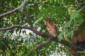 Brown Fish Owl sitting on a tree branch — Foto Stock