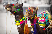 Two camels dressed up for fair. Pushkar, India — Stock Photo