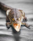 Small crocodile close up — Stock Photo