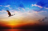 Bird of prey - Brahminy Kite flying on beautiful sunset backgrou — Stock Photo