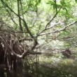 Stock Video: Video 1080p - Movement through mangroves
