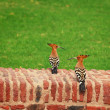 Two hoopoe on an ancient brick wall — Stock Photo