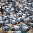 Foto Stock: Fed pigeons at square. Jaipur, India