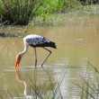 Stock Video: 1920x1080 video - Wading bird Painted Stork. Sri Lanka