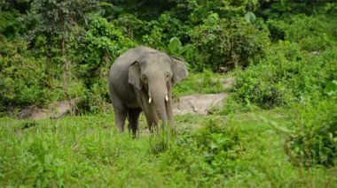 Video 1920x1080 - Female elephant grazing near the jungle — Stock Video