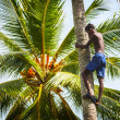 BENTOTA, SRI LANKA - APR 26: Man on the coconut palm tree trunk  — Stock Photo