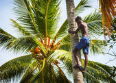 BENTOTA, SRI LANKA - APR 26: Man on the coconut palm tree trunk — Stok fotoğraf
