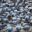 Stock Photo: Pigeons gaily eat at town square. At this point they shit