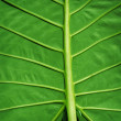 Tropical plant green background - Colocasia gigantea leaf — Stock Photo