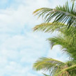 Video 1920x1080 - Palm trees fronds swaying on sky background close-up — Stock Video
