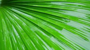 Video 1080p - yağmur ormanı içinde. tropik bir bitki yaprağı yakın çekim. — Stok video