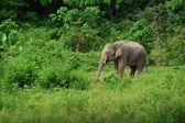 Female elephant near the rainforest. Thailand — Stock Photo