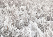 Young birch forest covered with snow — Stock Photo