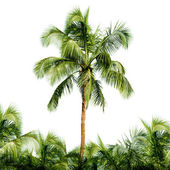 High coconut tree isolated on white background — Stock Photo