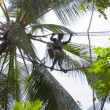 KANDY, SRI LANKA - APR 17: Professional coconut picker moves on the top of palms on Apr 17, 2013 in Kandy, Sri Lanka. Coconut harvesting is still only manual labour. — Stock Video