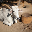 Stock Photo: Cow is resting. Burma
