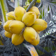 Stock Photo: Yellow coconuts on the palm