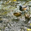 Stock Video: Video 1080p - Ducks in forest creek