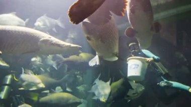 Чианг Мая, Таиланд - 02 дек 2013: дайверам кормить arapaimas в большой аквариум в чан может зоопарк гигантская панда — Стоковое видео