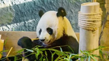 Video 1920x1080 - Panda eating bamboo closeup — Stock Video