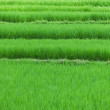Rice fields close up — Stock Photo #41777429