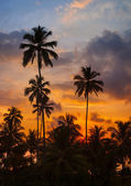 Tropical palm trees against the sky at sunset — Stock Photo