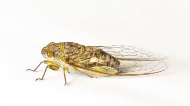 Video 1920x1080 - Cicada on a white background — Stock Video