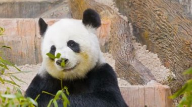 High definition footage 1080p - Panda eats bamboo leaves — Vidéo