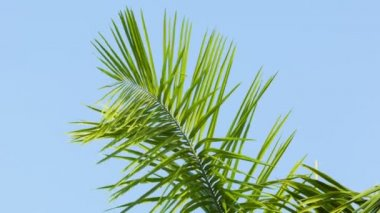 High definition video - Swaying palm frond on blue sky background — Stock Video
