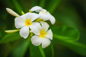 Beautiful white flowers of Plumeria (Frangipani) on green foliag — Stock Photo