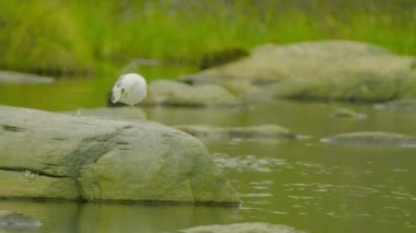 Video 1080p - One white seagull sitting on a rock at northern lake — Stock Video
