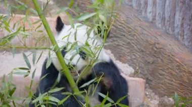 Video 1080p - Adult bamboo bear - Panda busy eating — Vídeo de Stock