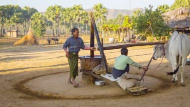 BAGAN, MYANMAR - 12 JAN 2014:  Traditional peanut oil production in rural burmese area with yoked oxen — Stock Video