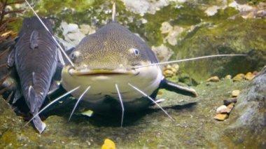 Video 1080p - Tropical big catfish in their natural habitat — Стоковое видео