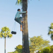 BAGAN, MYANMAR - 12 JAN 2014: Man climb up on a tree for traditional palm juice collection — Stock Video #50860489