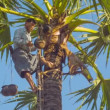 BAGAN, MYANMAR - 12 JAN 2014: Man fix vessel on a tree for traditional palm juice collection — Stock Video #50862407