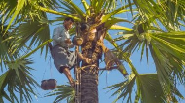 BAGAN, MYANMAR - 12 JAN 2014:  Man fix vessel on a tree for traditional palm juice collection — Stock Video