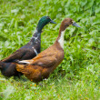 Two different genders ducks on meadow — Stock Photo #51052461