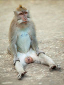 Male monkey funny sitting on ground. Macaque crabeater from Bali — Stockfoto
