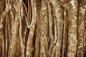 Aerial roots of a tropical plant. Natural background — Stock Photo